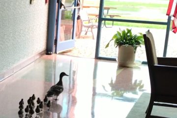 Mama Duck and her 14 hatchlings depart Dayton, Ohio's Temple Israel for the Miami River, April 22, 2017. Screenshot of video by Rabbi Karen Bodney-Halasz.