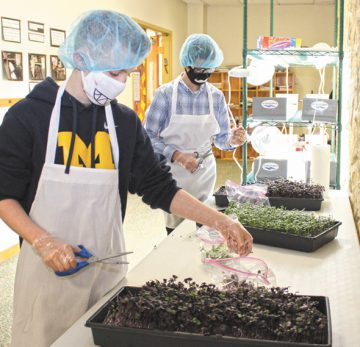 Avi Gilbert (L) and Menachem Simon harvest microgreen crops at Hillel Academy Jewish day school, March 7. Photo: Marshall Weiss.